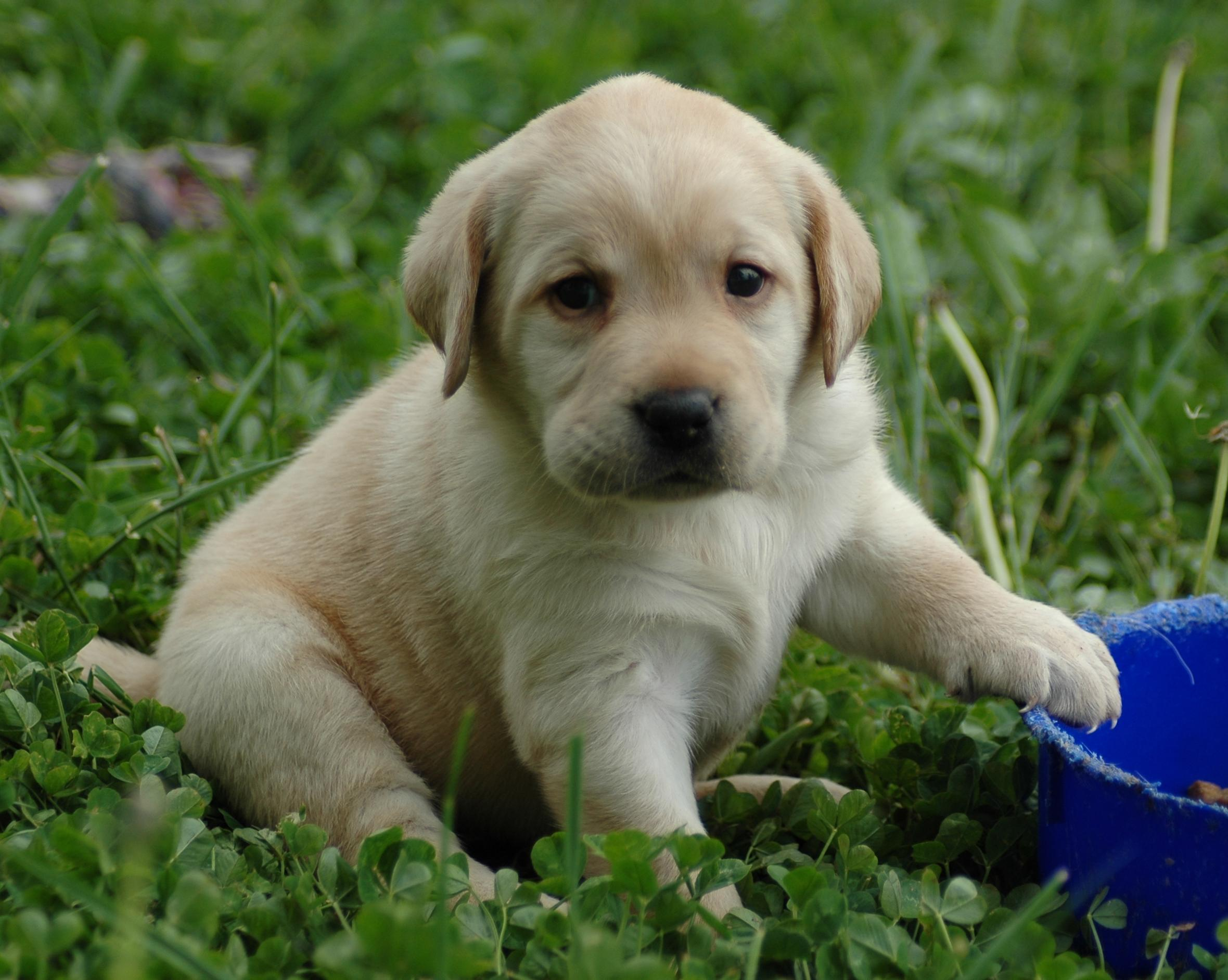 Puppy World: Labrador Puppy Pictures